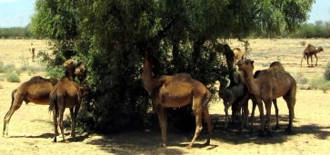 copy-of-camels.jpg